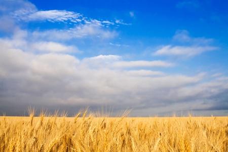 Golden wheat field and blue sky landscape