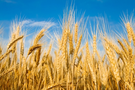 monoculture: Golden wheat field and blue sky landscape