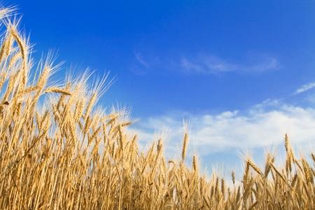 cultivo de trigo: Campo de trigo dorado en el cielo azul Foto de archivo