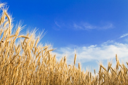 Golden wheat field on blue sky Stock Photo - 9898156