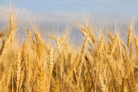 Golden wheat field close-up Stock Photo
