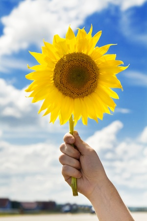 sunflower in hand on blue cloudy sky