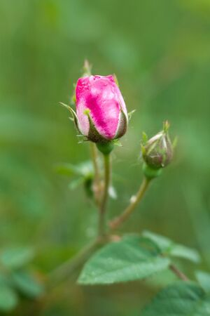 Pink roses on green grass-background