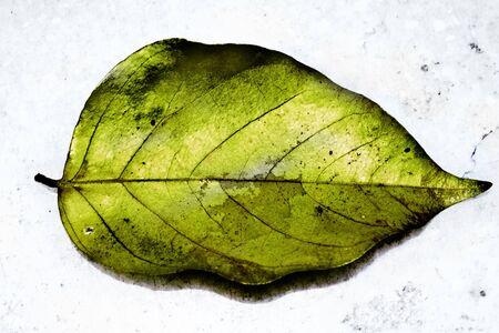 partly:  Partly Burnt Green Leaf