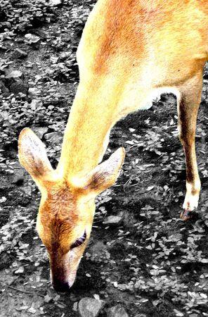 grass: deer eating grass