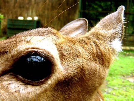 close-up of deers eyes