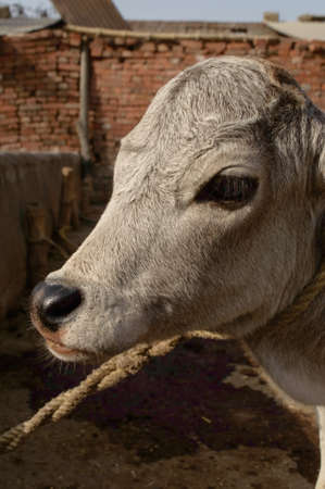 A portrait of indian baby cow or calf tie on wooden with rope at farm.