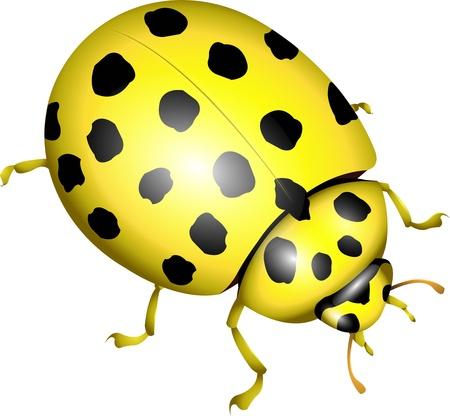 lady beetle: yellow ladybug