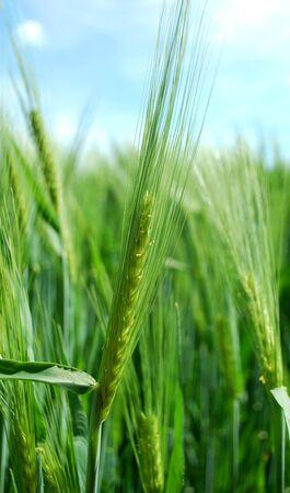 barley Imagens