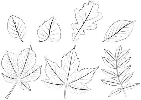acer: foliage