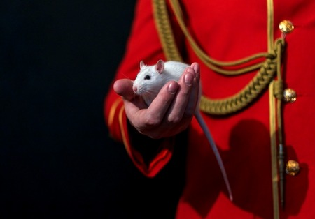 hussar: White lab rat in the hand of the man in the red hussar suit
