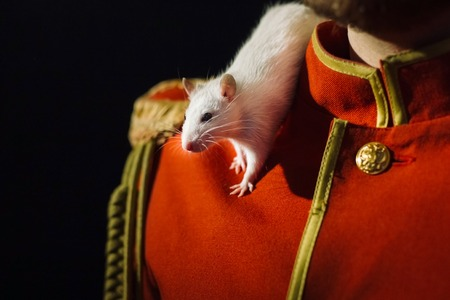 hussar: White lab rat on the shoulder of a man in a red hussar suit