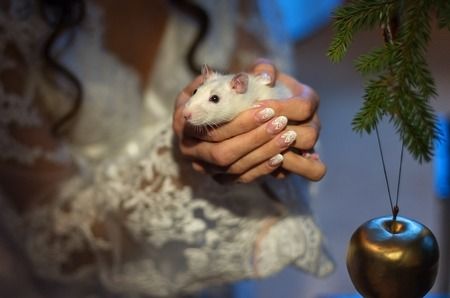 hussar: White lab rat in the hands of the bride. Hands with beautiful manicure.