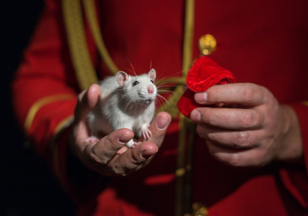 hussar: White lab rat in the hand of the man in the red hussar suit2 Stock Photo