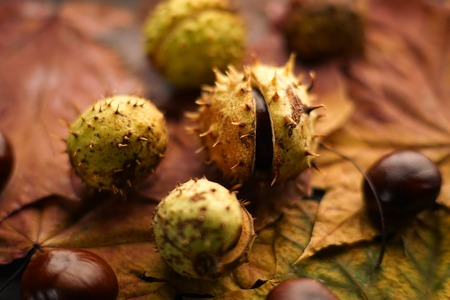 horse chestnut seed: Chestnuts, peeled and in pieces, lying on maple leaves. Close-up, backlight