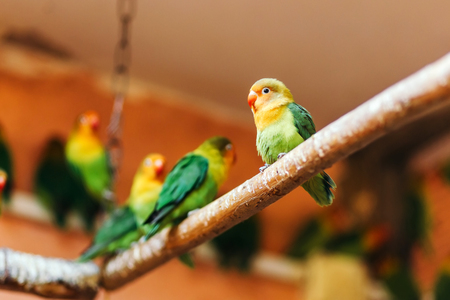 lovebird: Lovebird sitting on a perch.