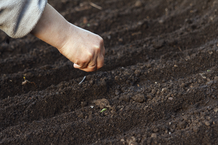 seeding: Sow vegetable seeds. Womans hand makes small seeds in the black earth land closeup.