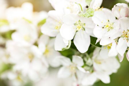 White tiny flowers on branch of amazing blooming apple tree. Sunny spring day in garden. Spring or summer background with warm toned lens flare. Shallow depth of field.