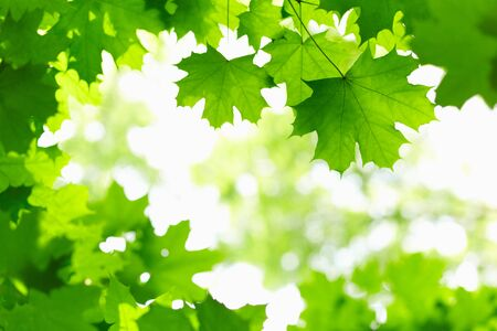 colorful maple trees: Fresh green leaves on the branch with daylight