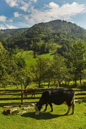 Carpathian Cow is grazing in the valley