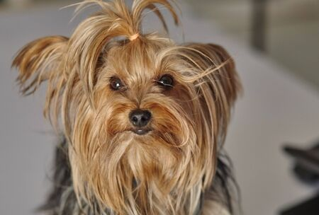 Puppy yorkshire terrier on the grey background