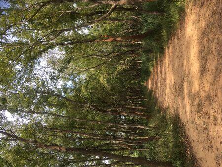 Fall rain pine forest
