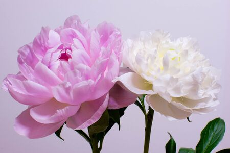 vigor: Peony flower Stock Photo