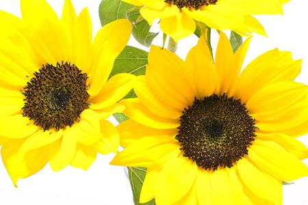 vigor: Sunflower