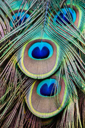 peacock feather: Close up shot of peacock feathers
