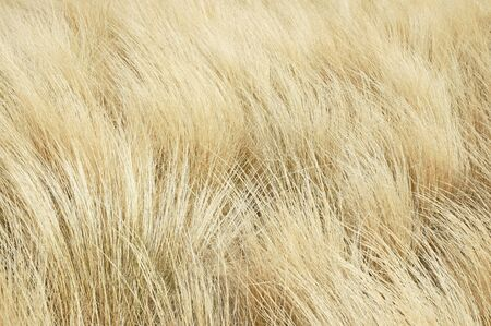 temperate: Golden Grass - Dried Grass Blowing in the Wind Stock Photo
