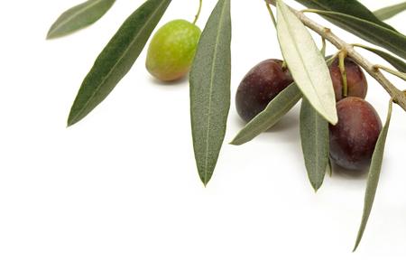 rama de olivo: La rama de olivo con aceitunas negras y verdes sobre fondo blanco Foto de archivo
