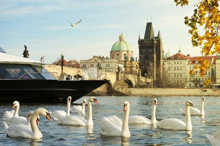 cisnes: Crucero en el río Moldava en Praga - Un barco de cruceros entre una manada de cisnes y el Puente de Carlos en un paisaje romántico en el río Moldava en Praga Foto de archivo