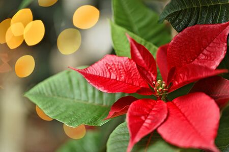 christmas symbol: Red Flower Poinsettia Symbol of Christmas Stock Photo