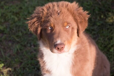 australian shepherd: Australian shepherd puppy portrait Stock Photo