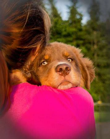 Australian shepherd puppy in the arms of a girl looking at the camera
