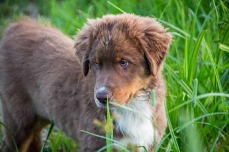 Australian shepherd puppy playing in the grass