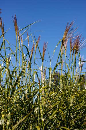 Long grass on a blue sky