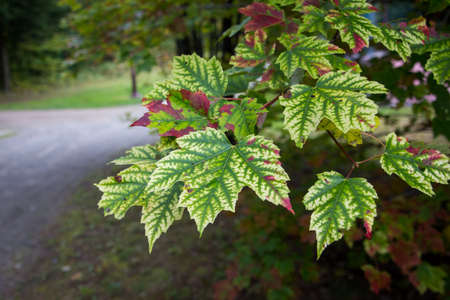 flesh colour: green, white and red autumn leafs Stock Photo