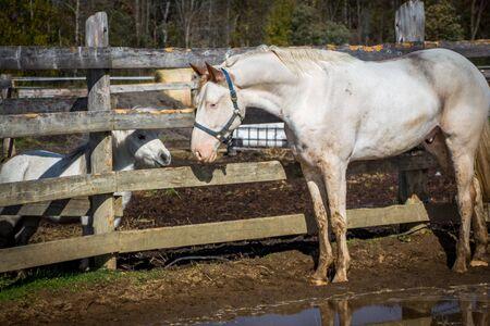 two whites horses outdoor