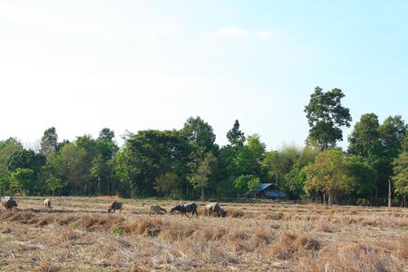 livelihoods: Buffalo, Thailand