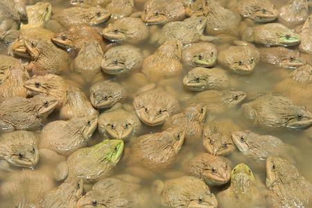 grenouille: Les grenouilles de sensibilisation dans l'étang