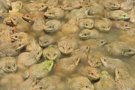 The raising frogs in pond