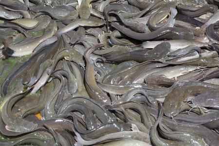 shark catfish: catfish farm