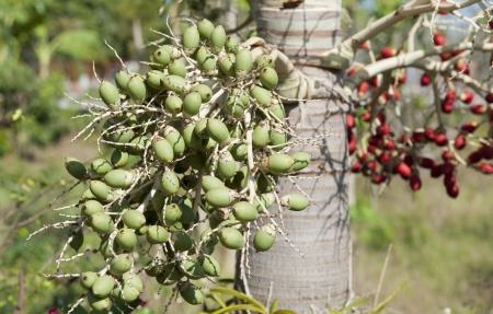 ripe Betel nut fruit Stock Photo - 17173255