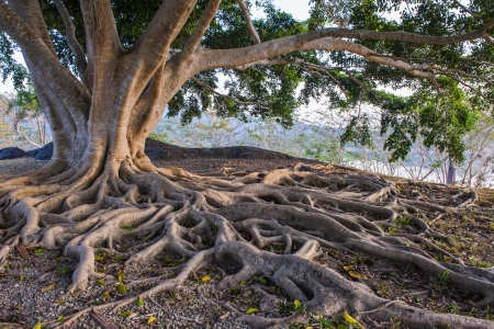 tree roots: raíz de un árbol grande