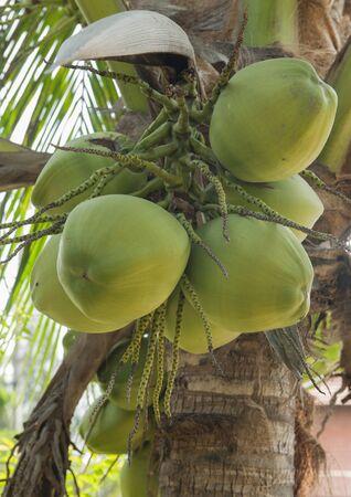 Coconut on the tree photo