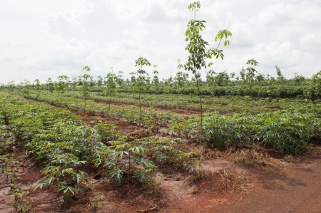 Rubber Plantation with cassava farm photo