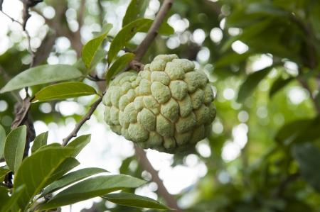 scaly custard apple: Custard apple fruit