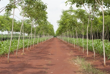 Rubber trees at Thailand with corn field photo