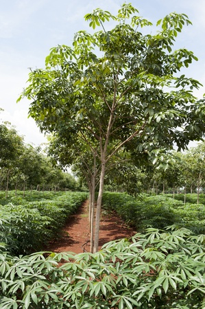 Rubber trees at Thailand with Cassava or manioc plant field in Thailand photo